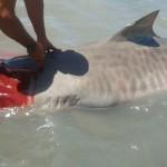Tubarão é encontrado morto na praia de Camapum em Macau.